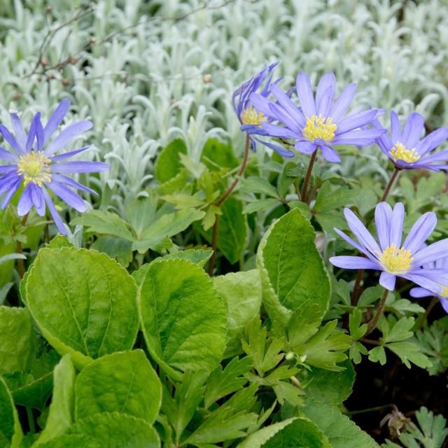 """Purple rocky daisy flower garden"" stock image"