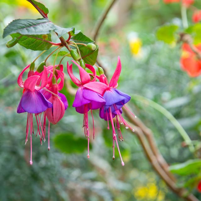 """Beautiful fuchsia flowers with rain dew"" stock image"