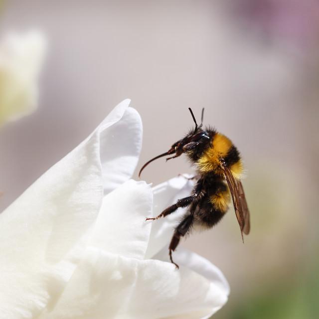 """""""macro shot of black yellow bee on flower"""" stock image"""