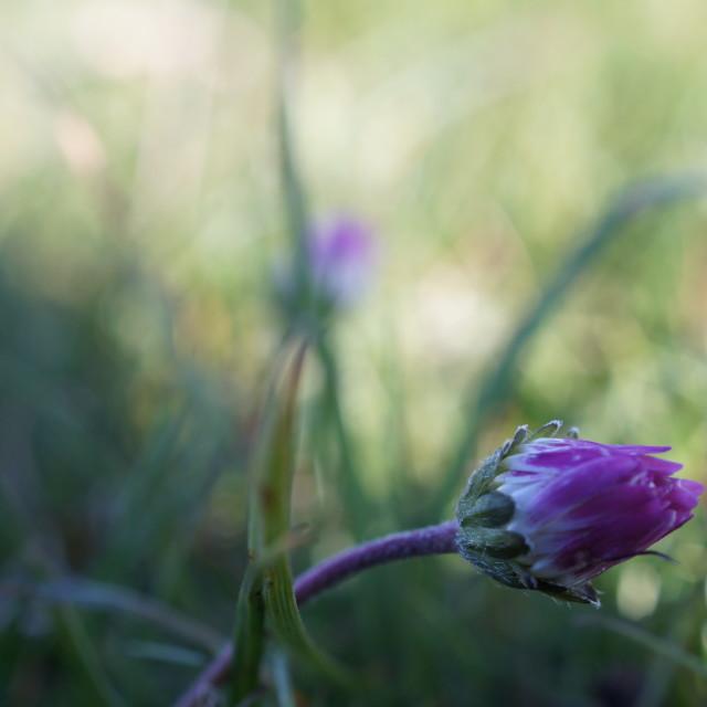 """""""Daisy Bud"""" stock image"""