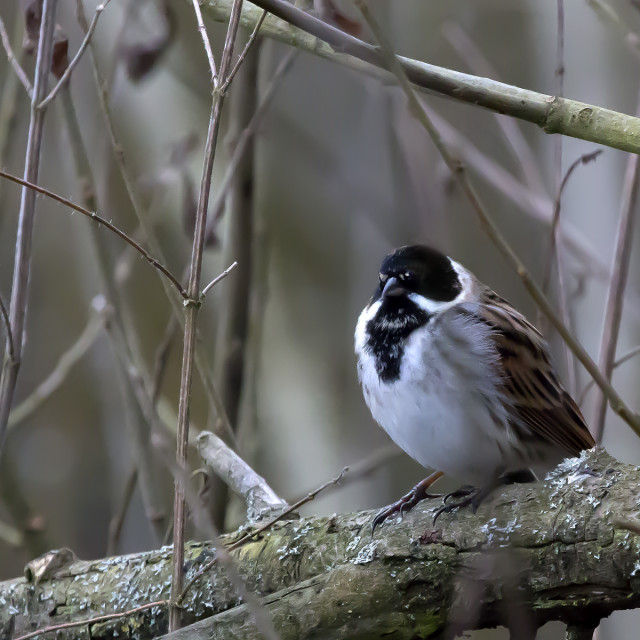 """A Reed Bunting."" stock image"