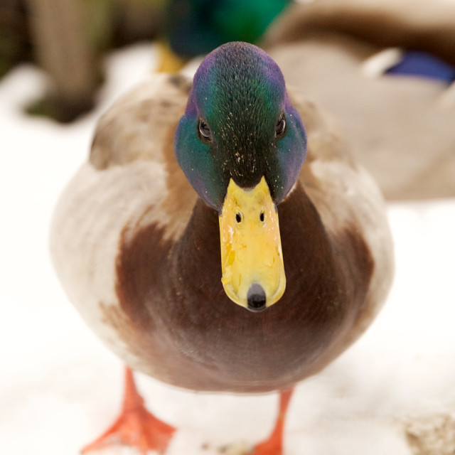 """Duck in the Snow"" stock image"