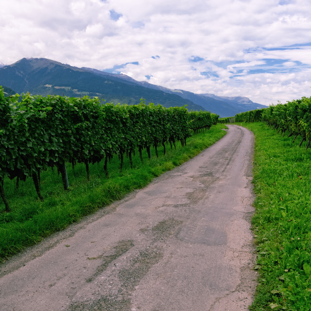 """Vineyard in Rhine Valley, Switzerland, with Grapes Ripening"" stock image"