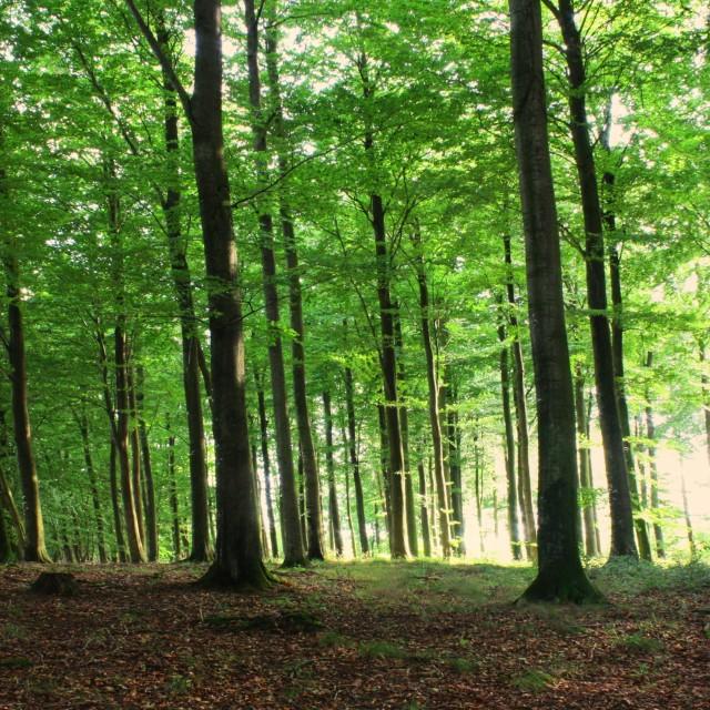 """Forest Sunlight"" stock image"