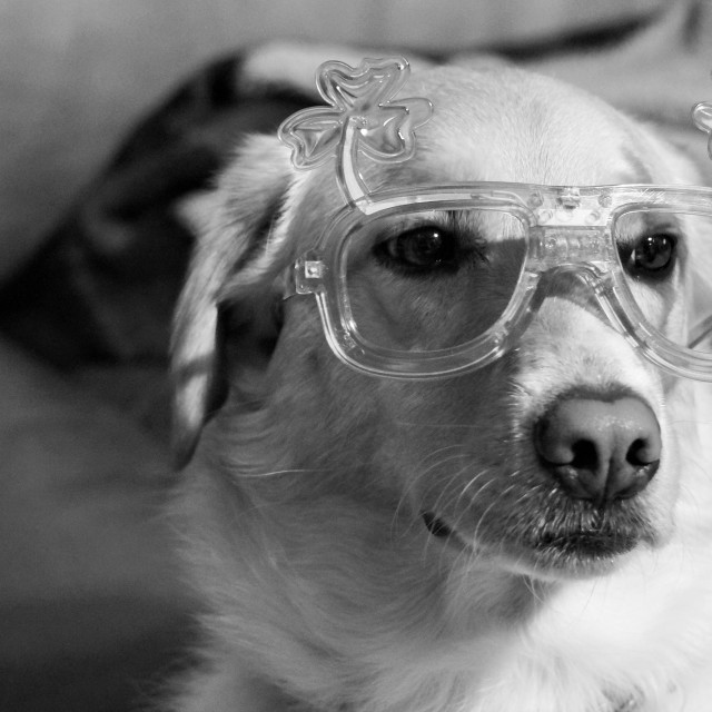 """""""BW dog with St Patty's Day glasses"""" stock image"""