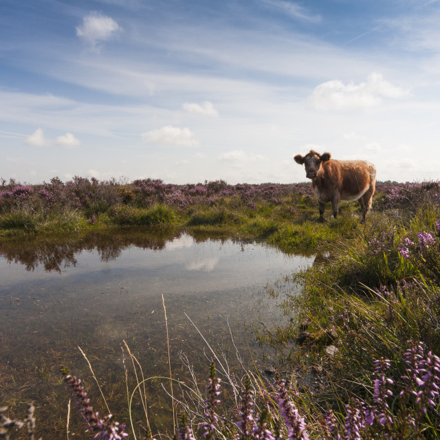 """New Forest Cow"" stock image"