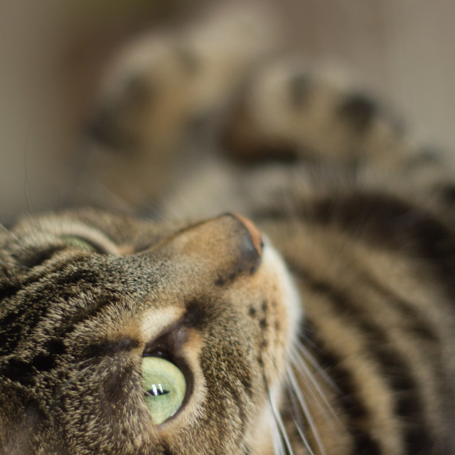 """""""Tabby Cat on the Bed Gazing Up"""" stock image"""