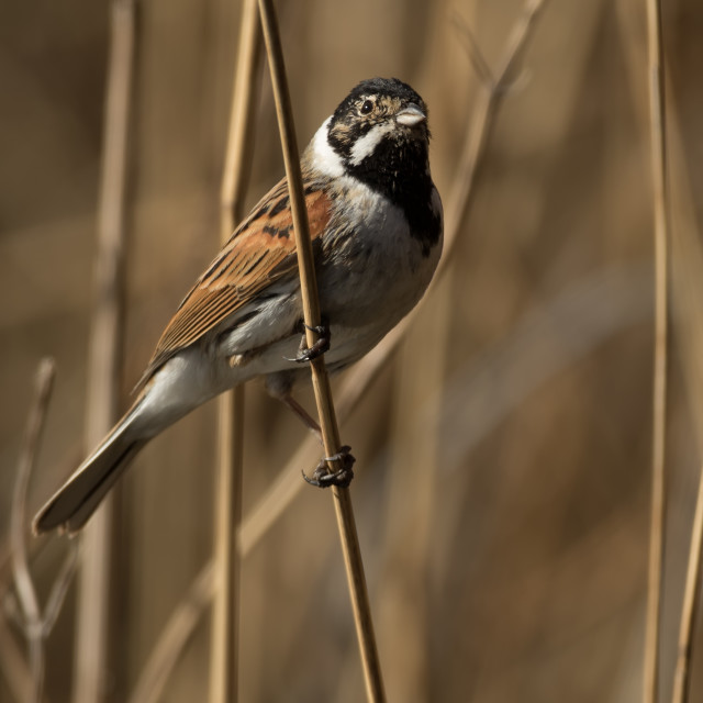 """Reed Bunting on Reeds"" stock image"