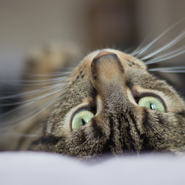 """""""Cat on bed looking up"""" stock image"""