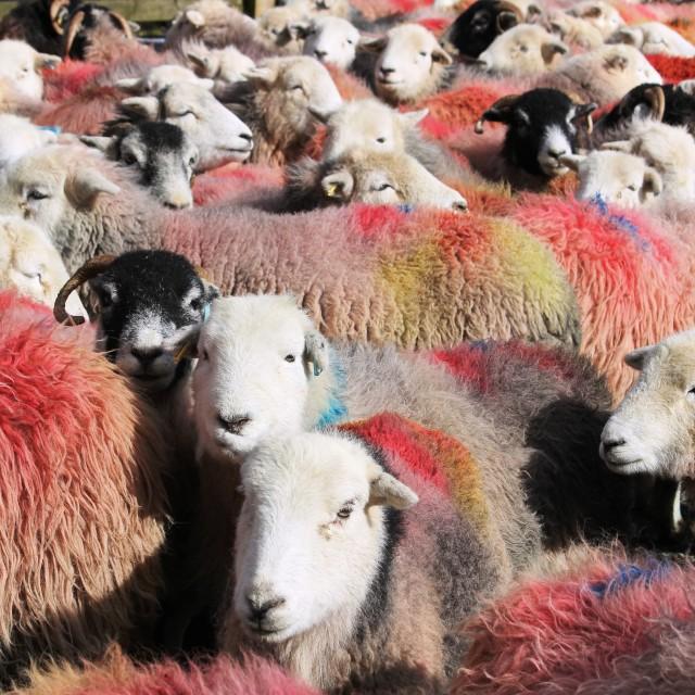 """Rainbow sheep"" stock image"