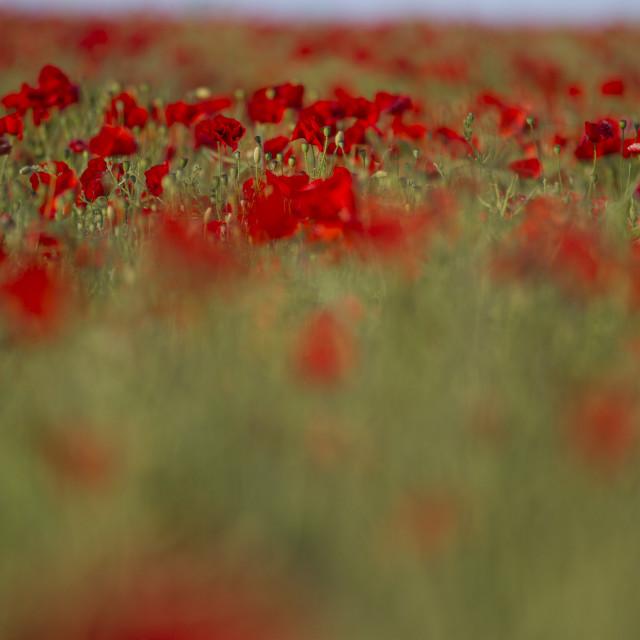 """""""Poppy Landscape"""" stock image"""