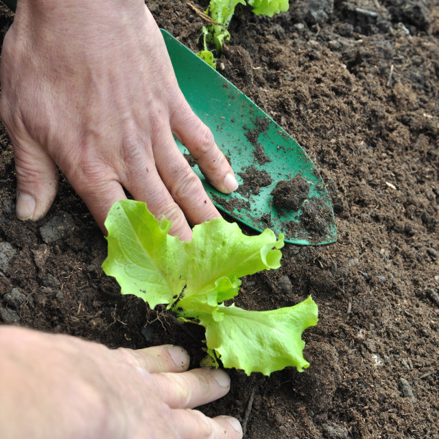 """planting lettuce"" stock image"