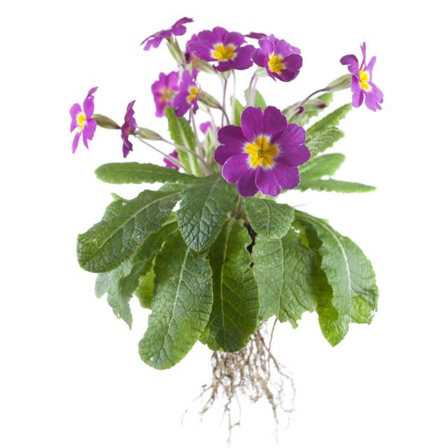 """purple primrose"" stock image"
