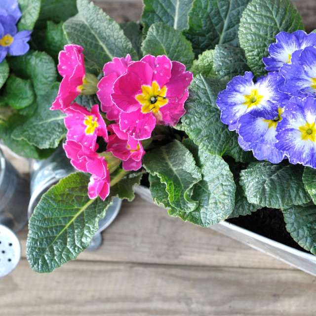 """pansies in pot"" stock image"