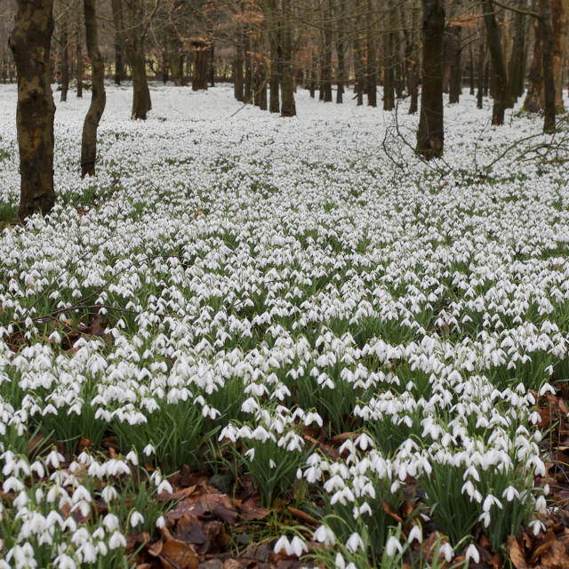 """forest of snowdrops"" stock image"