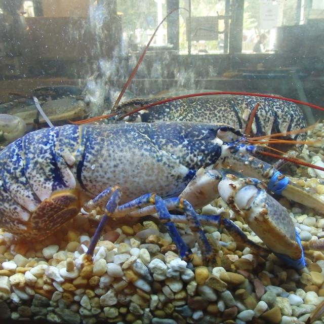 """Live lobster"" stock image"