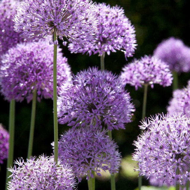 """Allium"" stock image"
