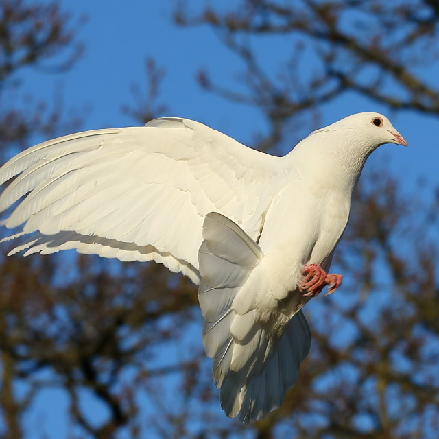 """Dove"" stock image"