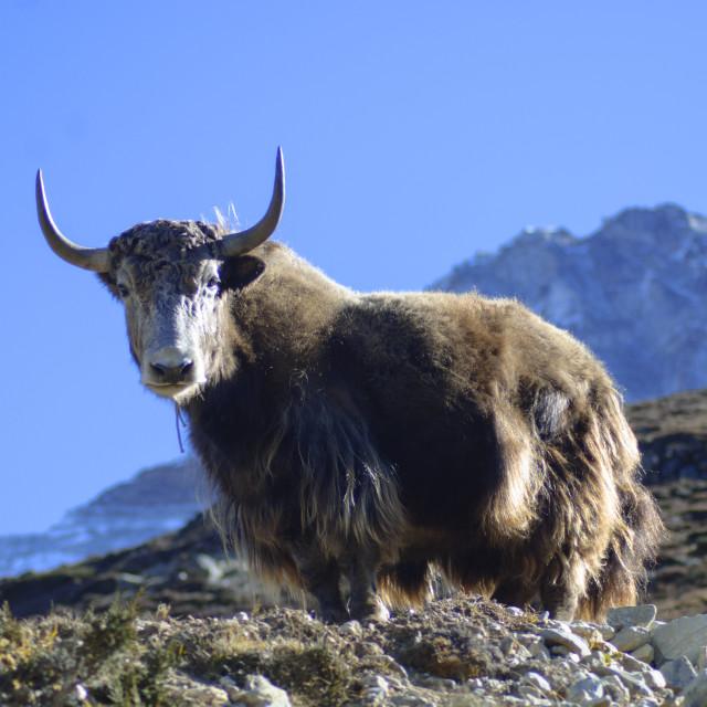 """Himalayan Yak"" stock image"