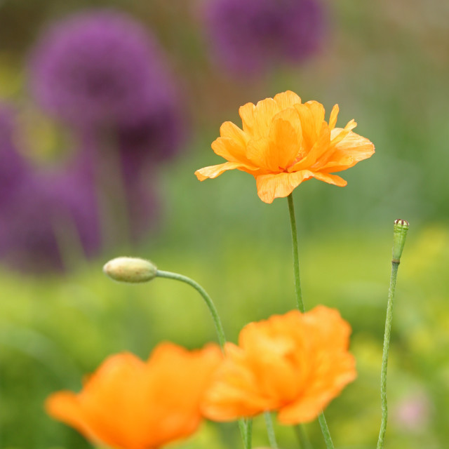 """orange poppies"" stock image"