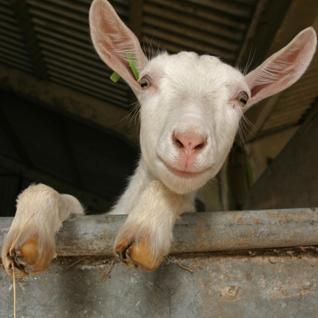"""farm goat"" stock image"
