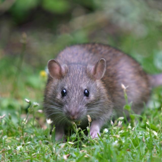 """""""Brown rat"""" stock image"""