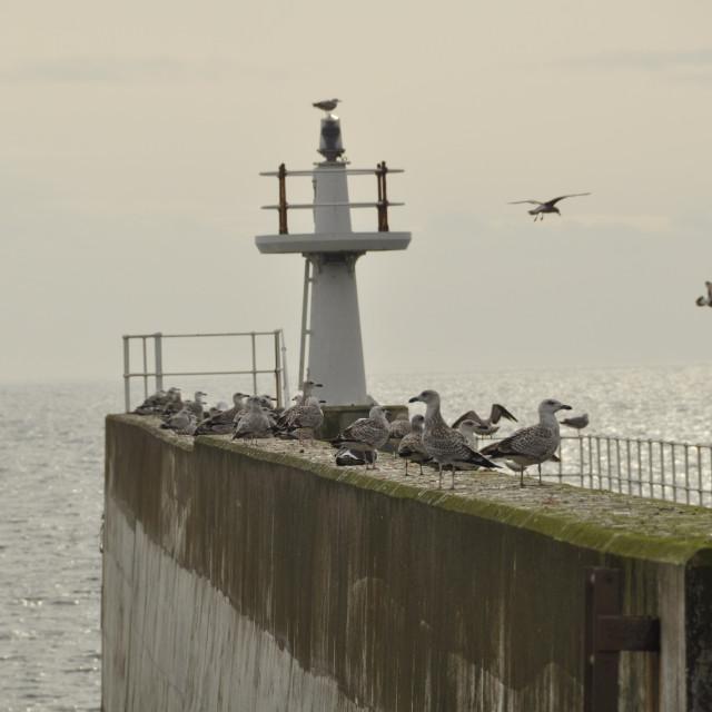 """""""Seagulls Pittenweem Fife Scotland UK"""" stock image"""