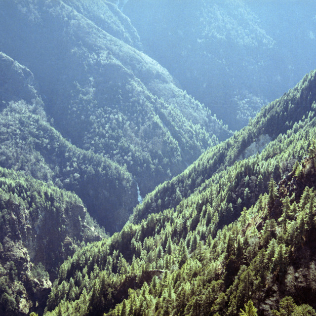 """""""Himalayan Pine Forest"""" stock image"""