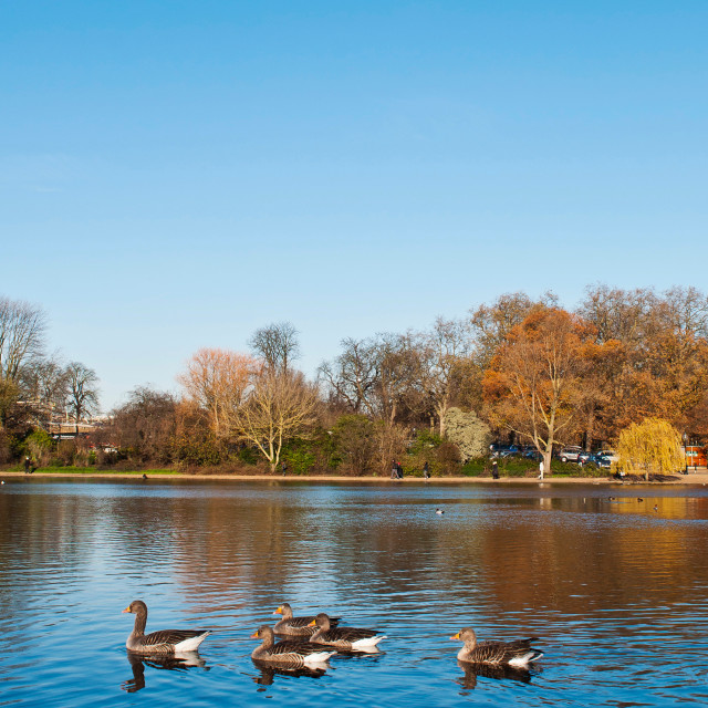 """The Serpentine Ducks"" stock image"