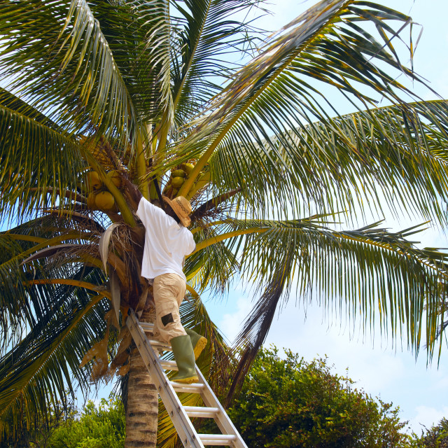 """""""Picking coconuts"""" stock image"""