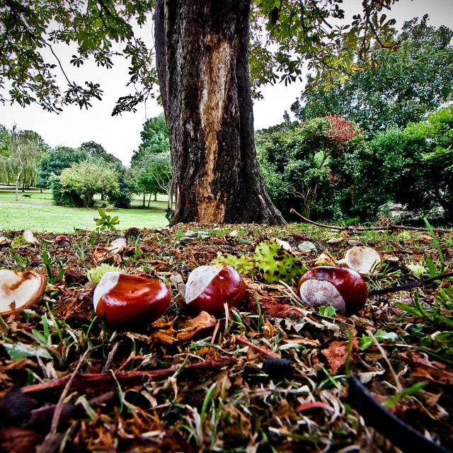 """""""conkers"""" stock image"""