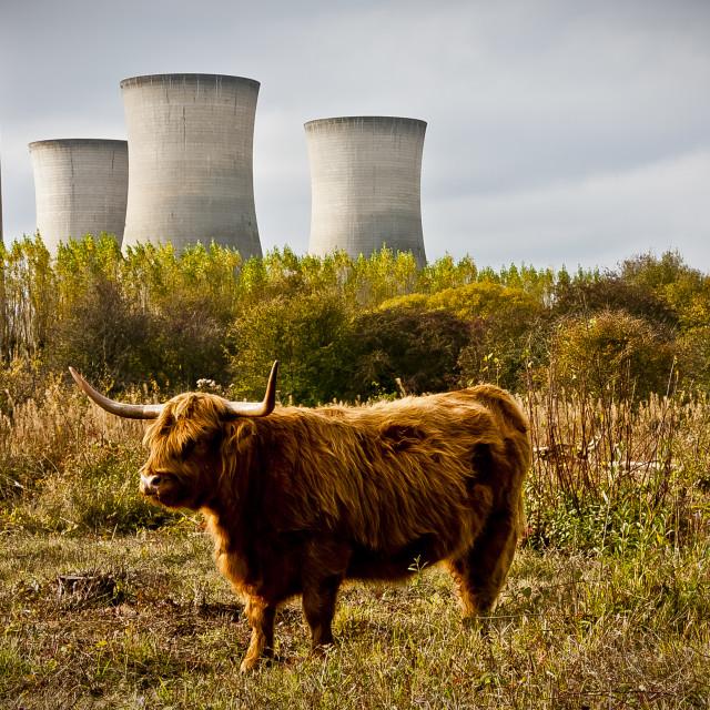 """""""Highland Cattle"""" stock image"""