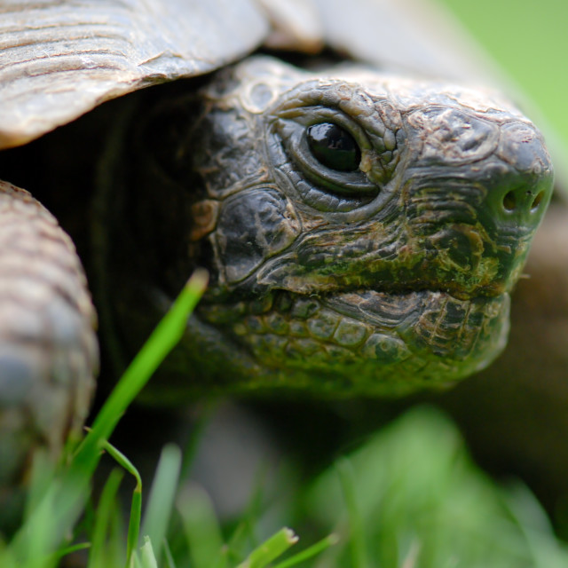 """""""Close up view of pet tortoise in garden"""" stock image"""