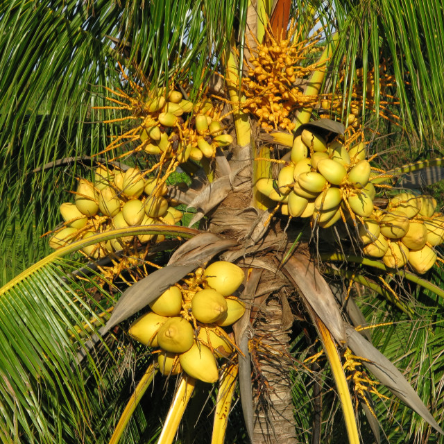 """""""coconut tree"""" stock image"""