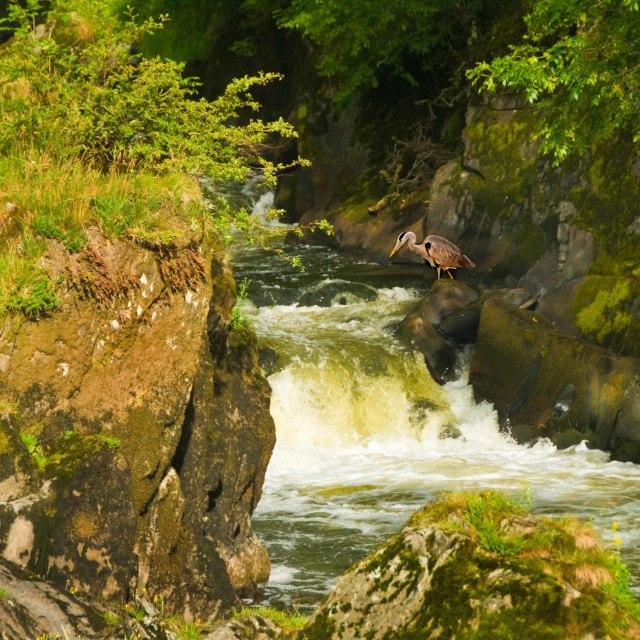 """""""Hunting at Cenarth Falls"""" stock image"""