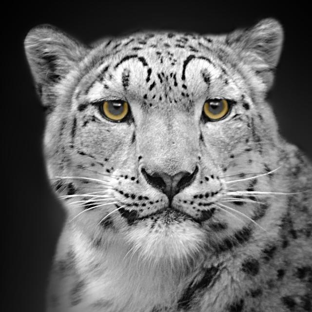 """""""Portrait Of A Snow Leopard"""" stock image"""