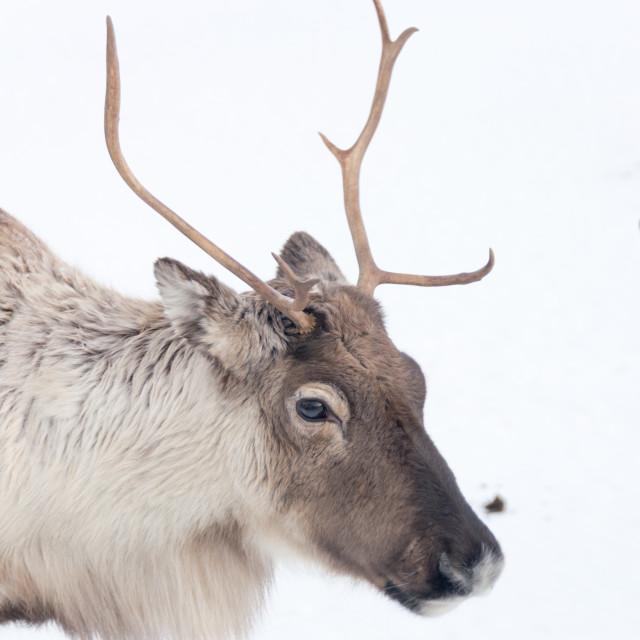 """""""Norwegian Reindeer"""" stock image"""