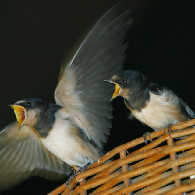 """swallow chicks"" stock image"