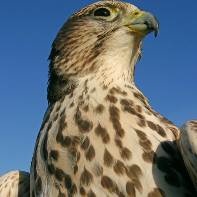 """saker falcon"" stock image"