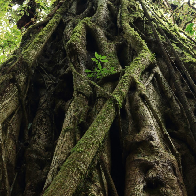 """Strangler vines, Monteverde Biological Reserve, Costa Rica."" stock image"