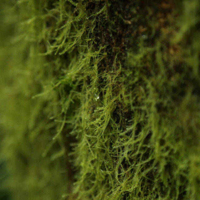 """""""Lichen growing on tree, Monteverde Biological Reserve, Costa Rica."""" stock image"""