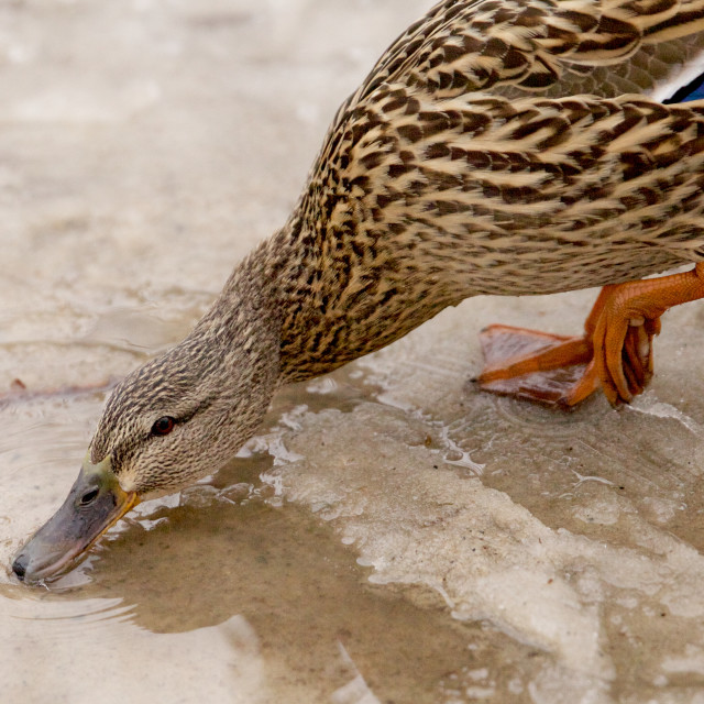 """Drinking Duck"" stock image"