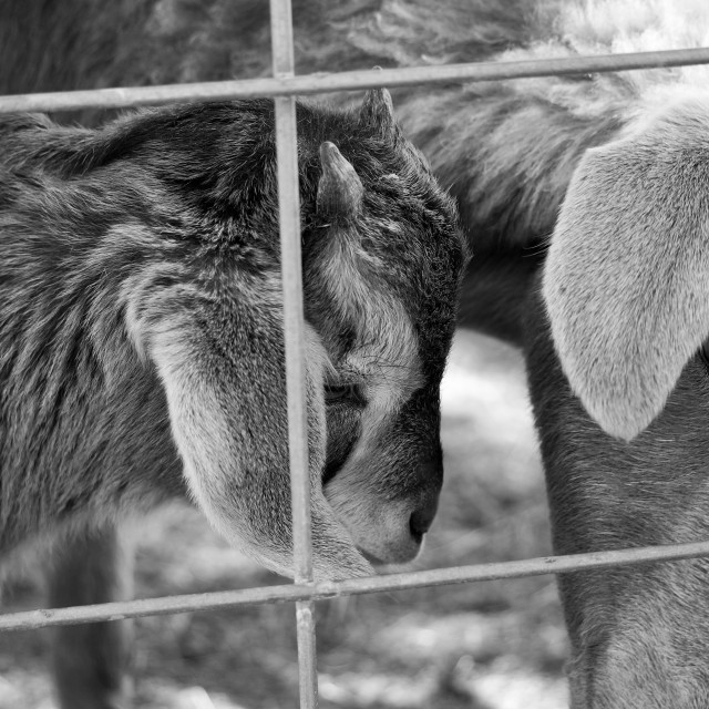 """BW Mom and baby goat"" stock image"