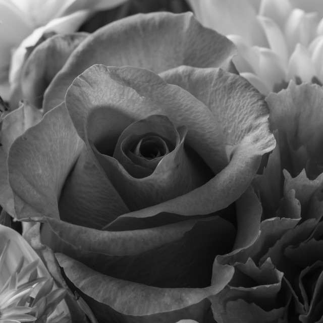 """Rose in mono"" stock image"