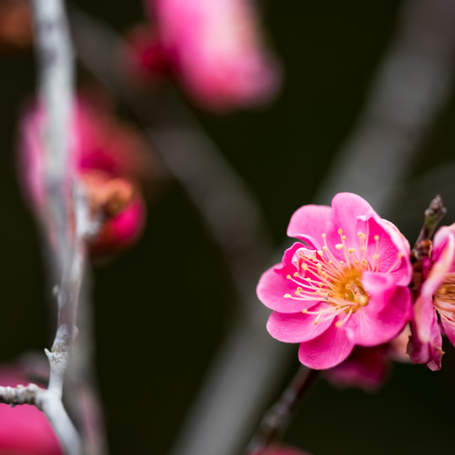 """""""Red Japanese apricot"""" stock image"""