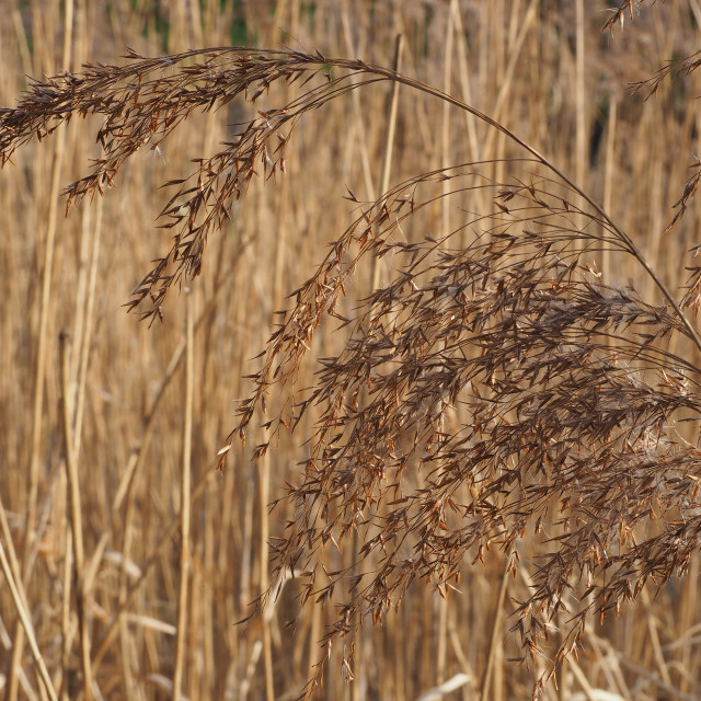 """Common Reed"" stock image"