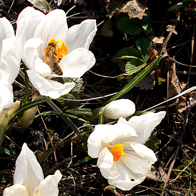 """""""First bee in spring 2015"""" stock image"""