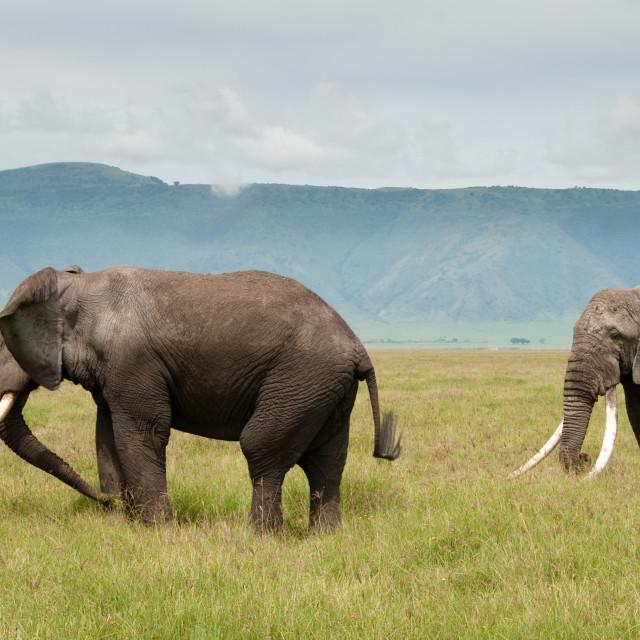 """""""Elephants of Ngorongoro"""" stock image"""