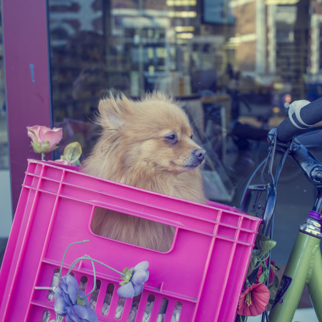 """How to transport a dog on a bike"" stock image"