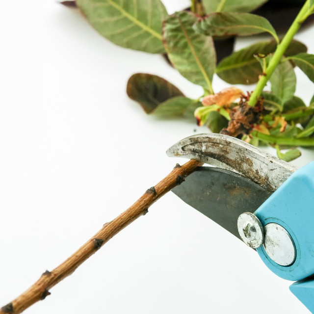 """""""Pruning"""" stock image"""
